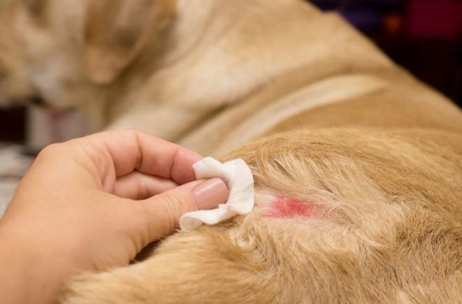 Những lưu ý khi chăm sóc chó bị viêm da