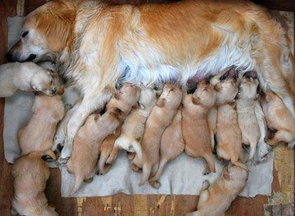 Những lưu ý trong quá trình chăm sóc chó đẻ