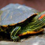 Nuôi rùa tai đỏ dễ hay khó? Kinh nghiệm bạn nên đọc khi muốn nuôi rùa tai đỏ