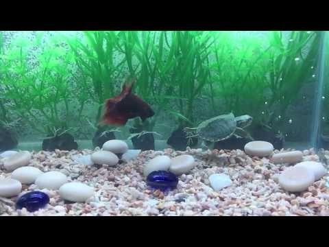 rùa tai đỏ trong bể