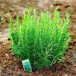 Làm sao để cây hương thảo luôn xanh tốt?