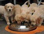 Những điều cần biết về thức ăn khô cho chó