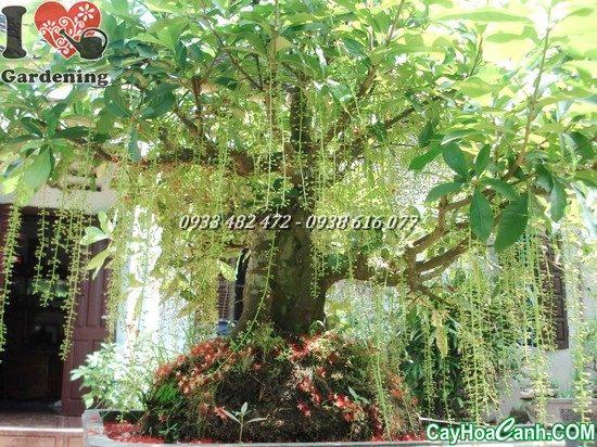 trồng cây lộc vừng