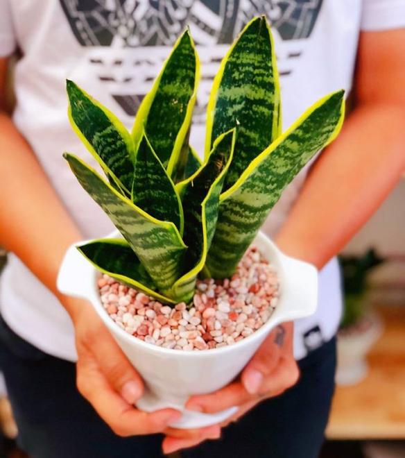 Cách trồng cây lưỡi hổ cải thiện phong thủy cho ngôi nhà