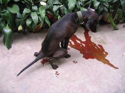 Chó bị đi kiết