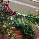 Cách trồng và chăm sóc hoa hồng trong chậu sai hoa