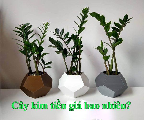 Cay Kim Tien Gia Bao Nhieu