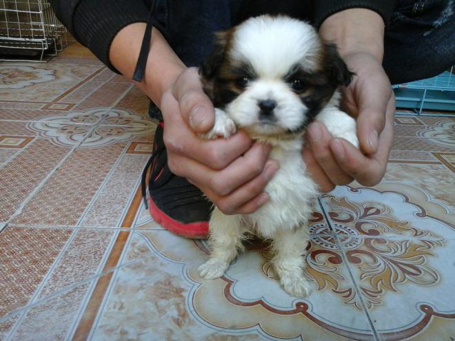 Đặc điểm của chó Bắc Kinh lai Nhật