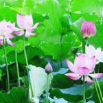 Bí quyết giúp bạn trồng hoa sen tự nhiên tại nhà thật dễ!