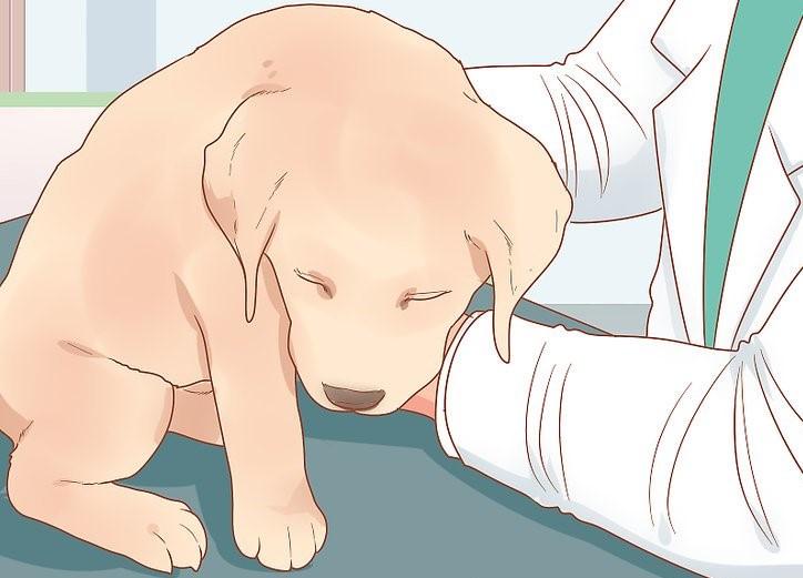 aid4134060 v4 728px Take Care of a Labrador Puppy Step 16[1]