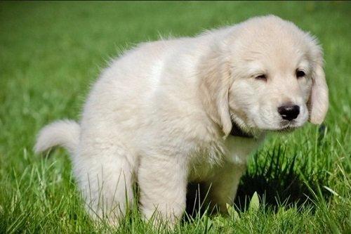 100% Hiệu Quả Với Cách Dạy Chó Đi Vệ Sinh Đúng Chỗ