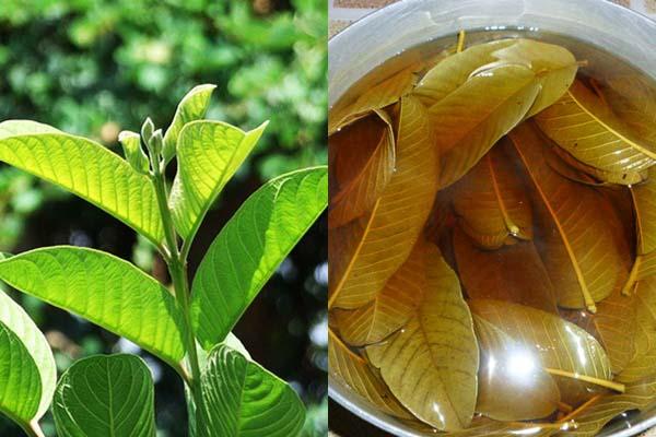 Tương tự như lá trà xanh, lá trầu không, lá ổi cũng có tính kháng khuẩn, sát nấm cao. Vì thế sử dụng lá ổi để làm giảm các triệu chứng mà bệnh viêm nhiễm phụ khoa gây ra khá hiệu nghiệm.