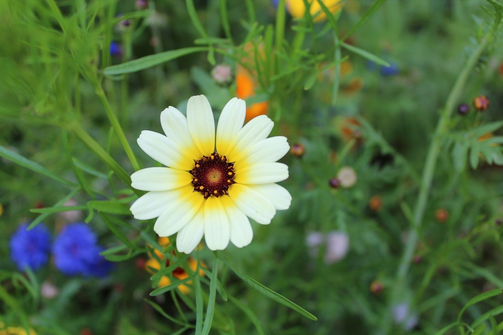 hoa dại