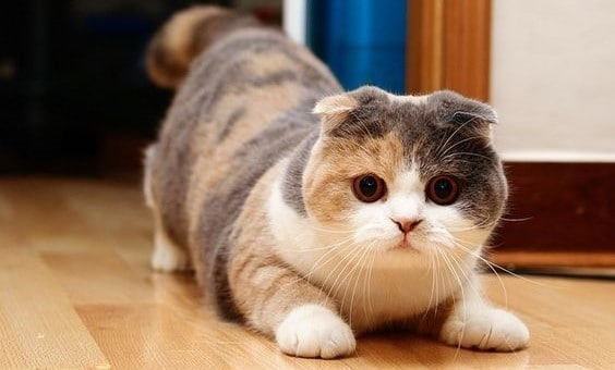 Image result for Scottish Fold