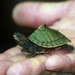 Vì sao nên nuôi  một chú rùa làm thú cưng. Bạn đã biết chưa?