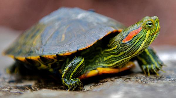 5 lợi ích tuyệt vời nuôi rùa tai đỏ?