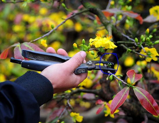 Cắt bỏ toàn bộ nụ hoa, bông hoa và cành dư thừa