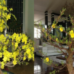 Biện pháp chăm sóc cây mai vàng trước và sau Tết Nguyên Đán đảm bảo cho hoa tuyệt đẹp