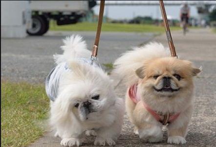 Chó Bắc Kinh lai Nhật trưởng thành