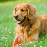 Chó bị ốm không chịu ăn có nguy hiểm không? Cách khắc phục như thế nào?
