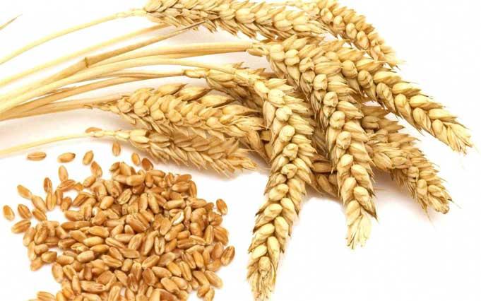 Lúa mạch giúp bạn ngăn ngừa rụng tóc