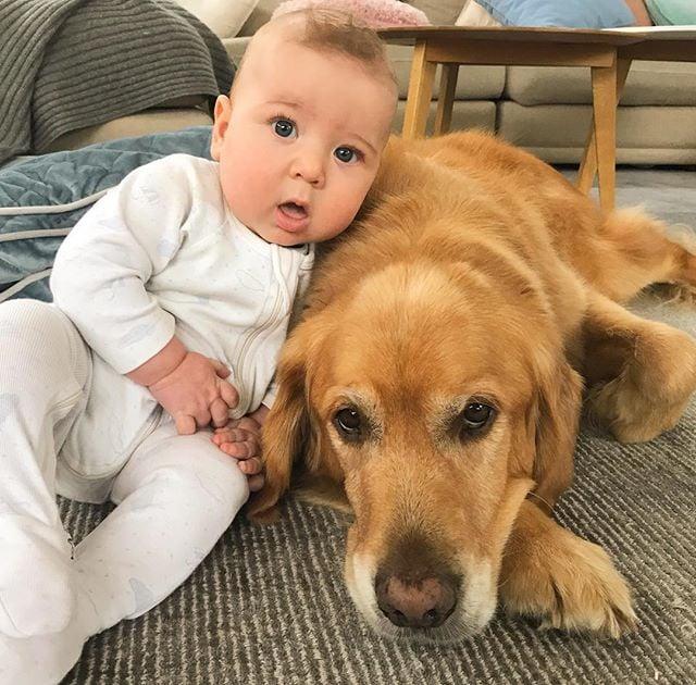 Photos Golden Retrievers Babies