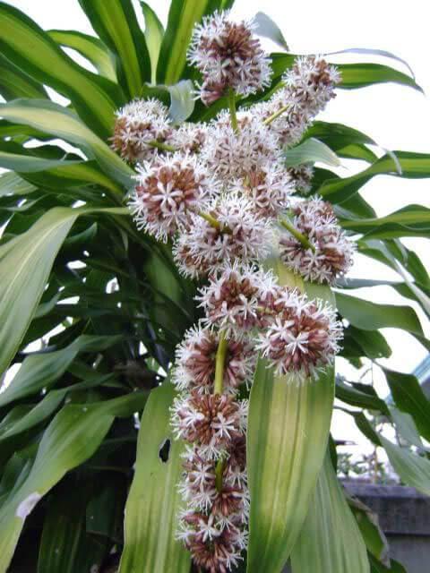 Bí ẩn hiện tượng hiếm thấy: cây phát tài nở hoa