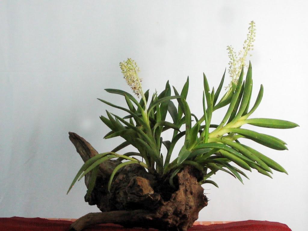 Cách trồng hoa lan trên thân gỗ cực đơn giản