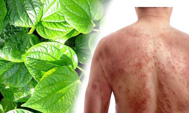 Theo nghiên cứu, trong thành phần của lá lốt có chứa hoạt chất flavonoid, ancaloit, benzyl axetat, beta-caryophylen… có khả năng kháng khuẩn, kháng viêm, giảm đau khá tốt.
