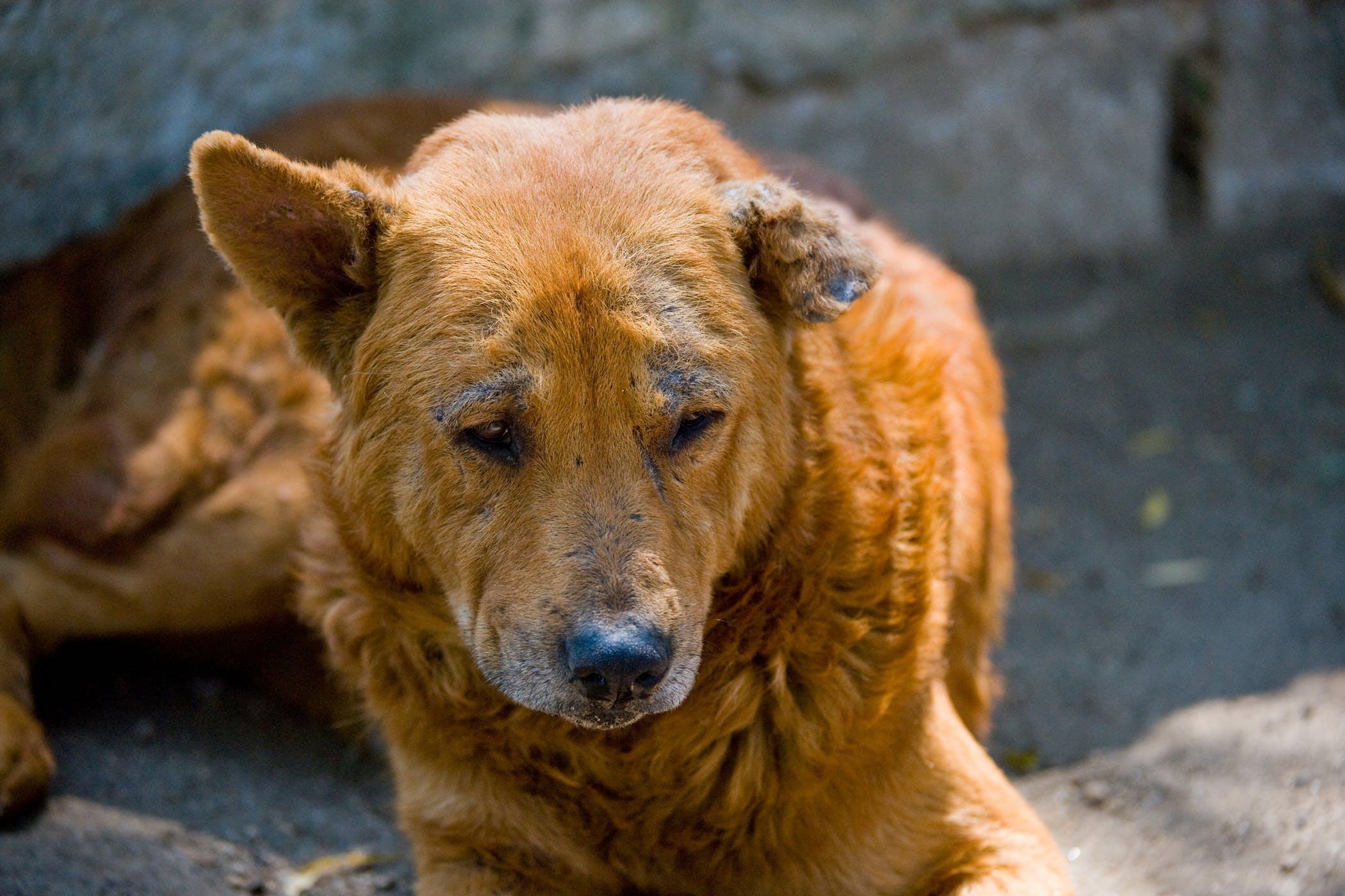 Chó bị ghẻ có nên tắm không