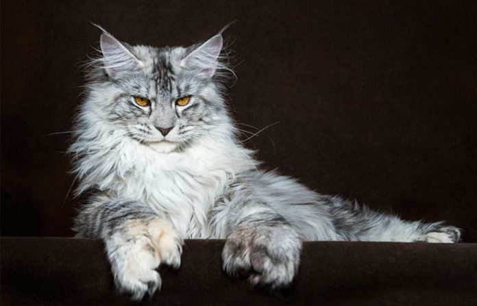 giong meo Maine Coon 696x447