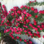 Mãn nhãn với 5 loài hoa dây leo vừa đẹp vừa thơm trồng trong nhà