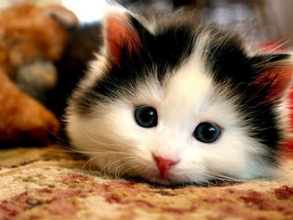 mèo khỏe mạnh sống lâu