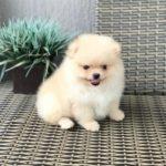 Chó phốc sóc – Cục bông gòn di động đáng yêuuuu