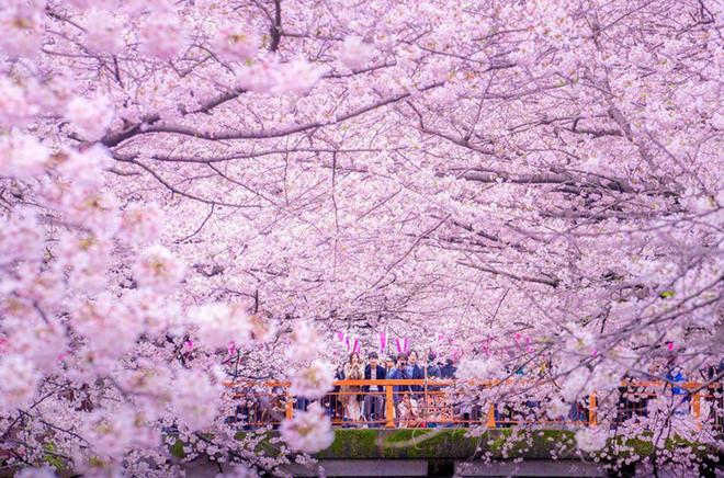 Nhắc đến Nhật Bản là nghĩ ngay đến hoa anh đào, loài hoa biểu tượng cho đất nước mặt trời mọc