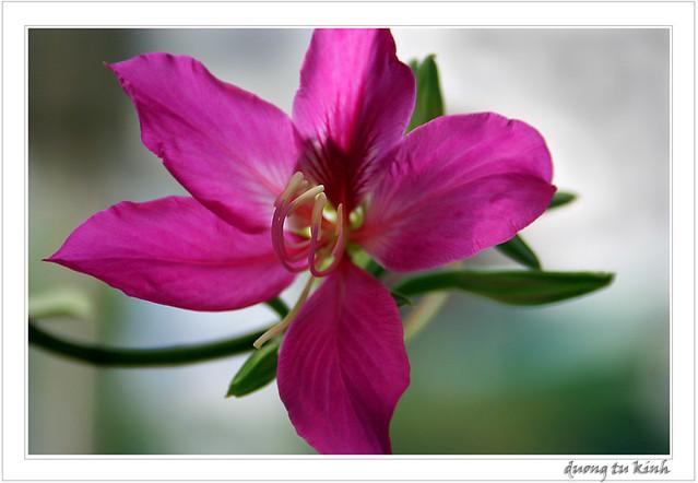 Hoa Dương tử kinh là quốc hoa của đặc khu kinh tế Hồng Kông