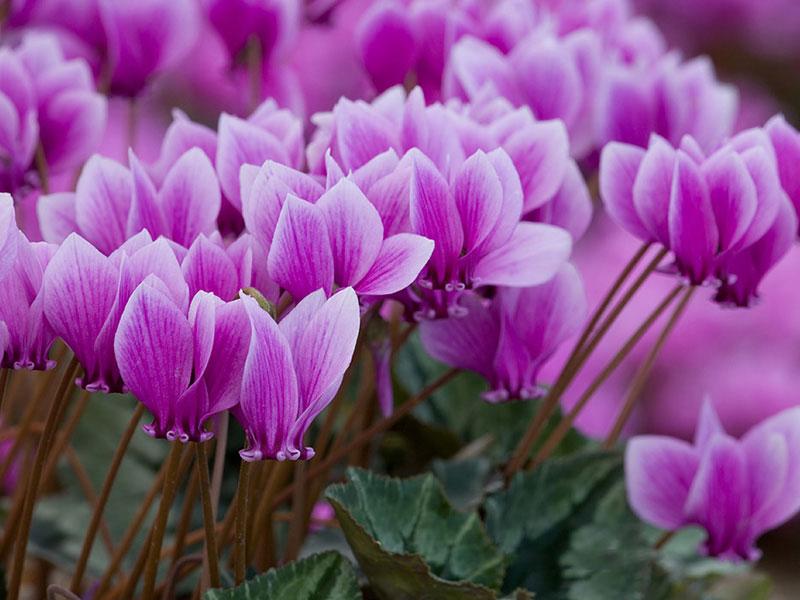 Tiên khách lai hay còn gọi là hoa anh thảo là quốc hoa của đất nước irasel