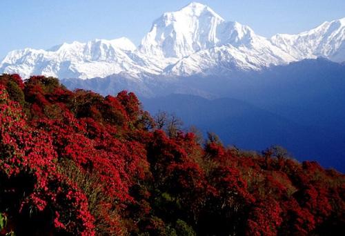 Nhìn khắp đất nước Nepal bạn sẽ dễ dàng bắt gặp những cánh rừng hoa đỗ quyên đẹp ngút ngàn