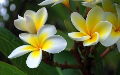 """Hoa Champa được coi là loại hoa thiêng và được người Lào tôn trọng. Bài hát """"Champa Muang Lao"""" và """"Duang Champa"""" viết về hoa Champa được mọi người dân Lào thuộc lòng và phổ biến rộng rãi."""