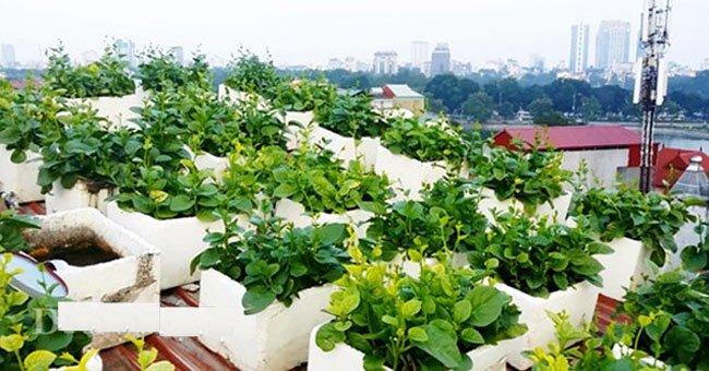 trồng rau tại nhà đơn giản 01