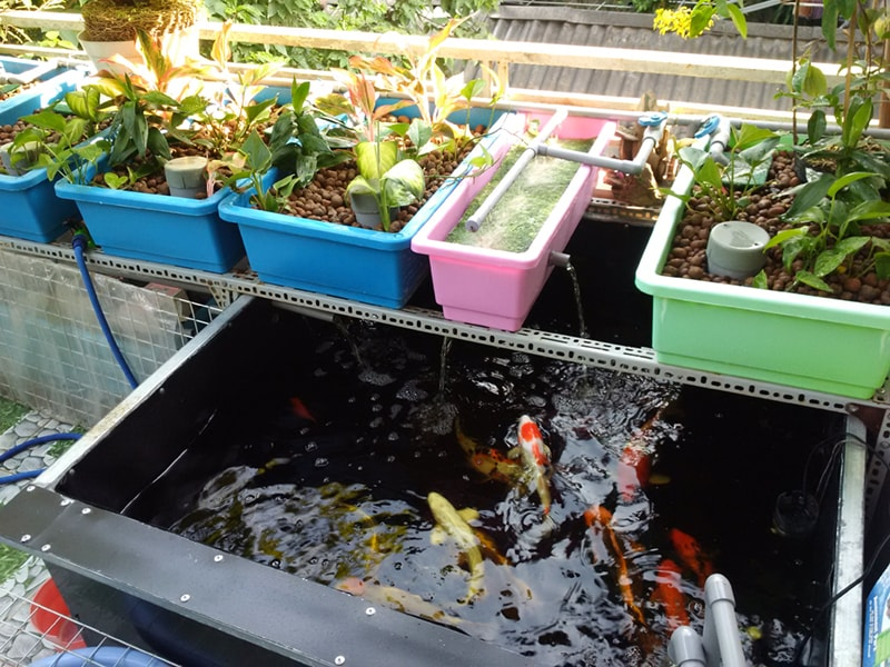 trong rau sach tren san thuong voi mo hinh aquaponics nha dep so 4