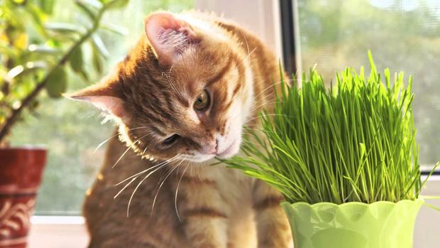 Vì sao mèo ăn cỏ 01