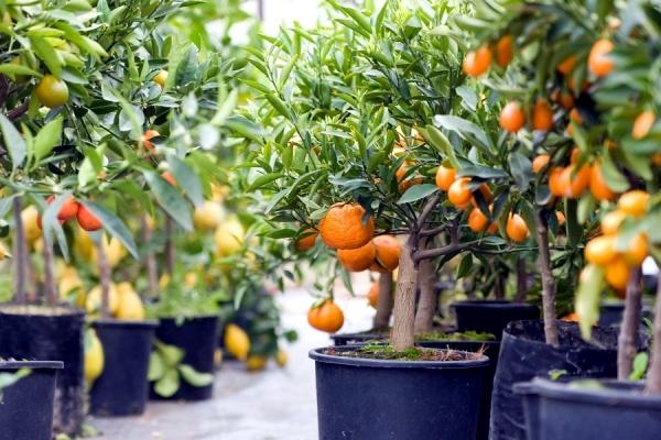 Bí quyết trồng cây trĩu quả mang giàu sang thịnh vượng