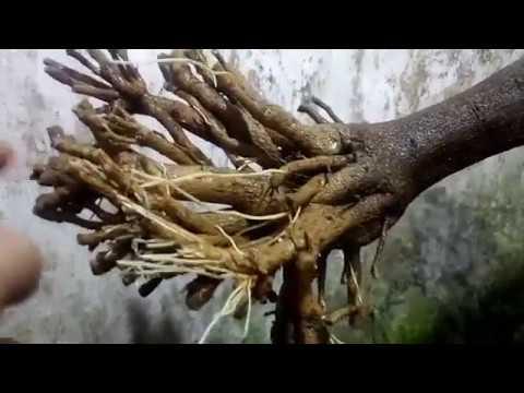 Cắt gọn rễ chuẩn bị trồng.