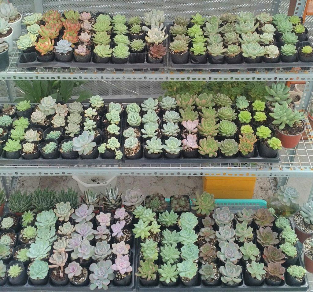 Các loại cây sen đá đa dạng