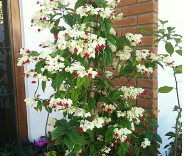 Cây hoa Ngọc Nữ có vẻ đẹp thuần khiết