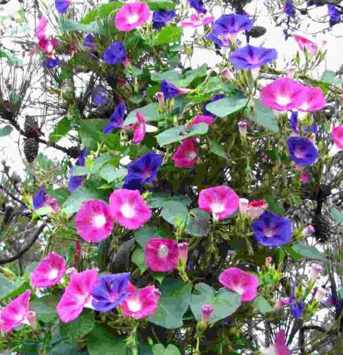 Hoa bìm bìm hồng tím mộng mơ