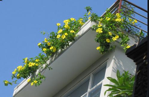 Hoa Hoàng thảo nổi bật ban công