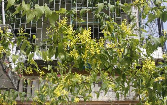 Mai hoàng yến hoa vàng lẫn lá xanh