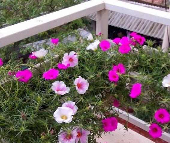 Hoa mười giờ được trồng dọc ban công